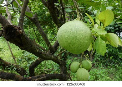 Pomelo, ripening fruits of the pomelo, natural citrus fruit, green pomelo hanging on branch of the tree on background of green leaves