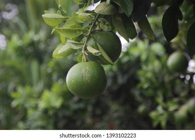 Pomelo, ripening fruits of the pomelo, natural citrus fruit, green pomelo hanging on branch of the tree on background of green leaves. Bali, Indonesia, january 2019