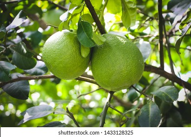 Pomelo, ripening fruits of the pomelo, natural citrus fruit, green pomelo hanging on branch of the tree on background of green leaves, close-up