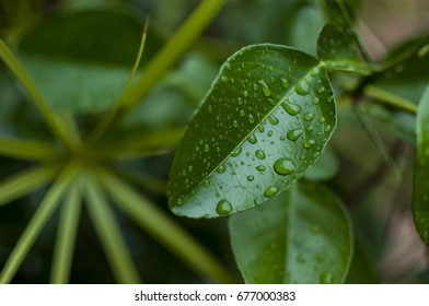 Pomelo tree leaf encrusted with dew drops after heavy monsoon rains in Chiang Mai, Thailand.