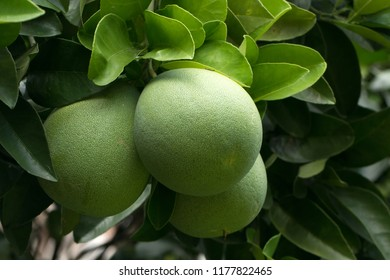 Pomelo's large green fruit hanging on the tree (Citrus maxima)