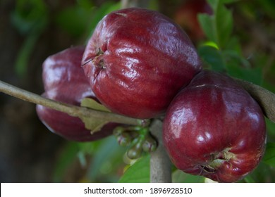 Pomerac fruits (Syzygium malaccense) has other names are Malay Apple, Chompoo Mameaw, Rose apple. It's pear-like fruit with calyx attached to end of fruit, dark red color. They're hanging from tree.