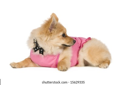 Pomeranian (6 months) in front of white background