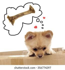 Pomeranian ala Little Bear dreaming about chewie