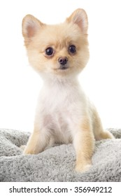 Pomeranian ala Little Bear Hair Cut