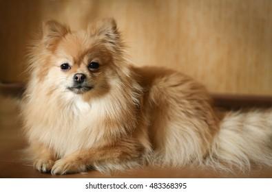 Pomeranian as an art