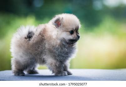 Pomeranian baby posing outside. Small pomeranian puppy.