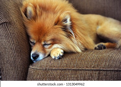 Pomeranian buries his nose in the couch trying to get some sleep after a rough night out.  Couch is brown tween.