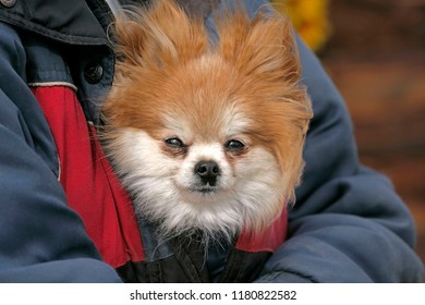 Pomeranian carried in jacket, peaking out