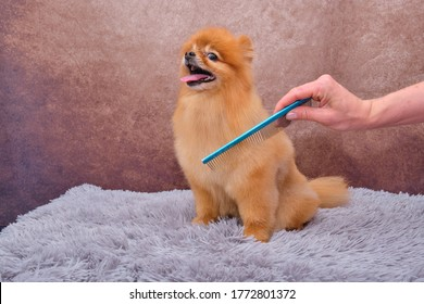 Pomeranian Haircut Stock Photos Images Photography Shutterstock