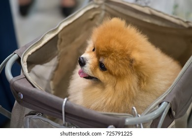 Pomeranian Cute Dog Sit Trolley Supermarket Stock Photo (Edit Now