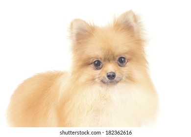 Pomeranian with Cute Look