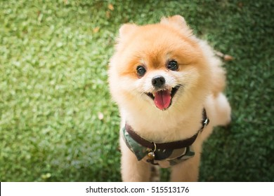 Pomeranian images stock photos vectors shutterstock pomeranian dog thecheapjerseys Image collections