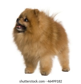 Pomeranian dog, 4 years old, standing in front of white background