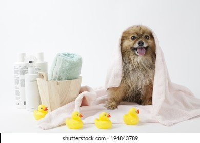 Pomeranian dog after a bath with towels and rubber ducks