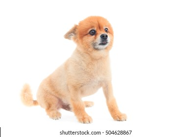Pomeranian dog after grooming hair cut isolated on white background