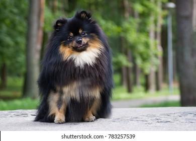 Pomeranian dog after dog show posing outside.