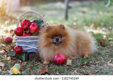 Pomeranian dog with apples in a garden. Apples harvest. Dog with apples. Autumn dog