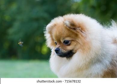Pomeranian dog and bee.