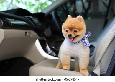 pomeranian dog cute pet standing in vehicle car travel road trip