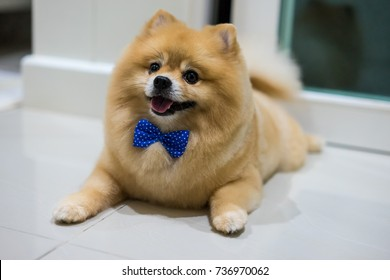 pomeranian dog cute pets short hair style in home, Selective focus on eye