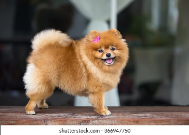 Pomeranian dog. Cute Pomeranian dog with pink bow smiling and funny on wood table