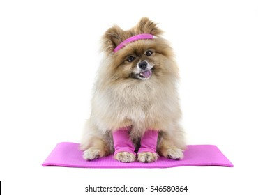 Pomeranian Dog doing yoga on yoga mat