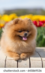 Pomeranian dog with flowers in a park. Dog near spring flowers