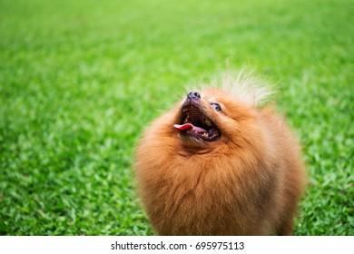 Pomeranian dog in a green garden in garden field