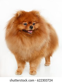 Pomeranian dog isolated in front of white background
