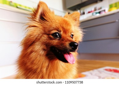 Pomeranian dog in the kitchen