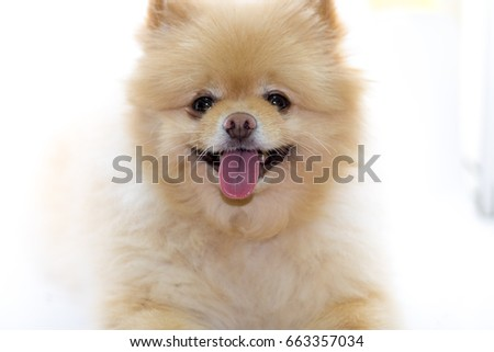 Pomeranian Dog Light Brown Color Warm Stock Photo Edit Now