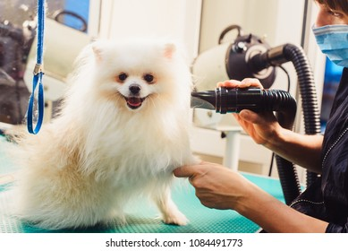 Pomeranian dog on the table for grooming in the beauty salon for dogs. The concept of popularizing haircuts and caring for dogs. Drying of wool with a special hair dryer of spitz dog.