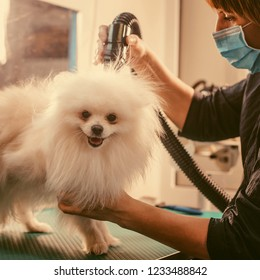 Pomeranian dog on the table for grooming in salon for dogs. Toned image. The concept of popularizing haircuts and caring for dogs. Drying of wool with a special hair dryer of spitz dog close up