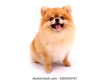 Pomeranian dog on a white background.