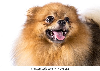 Pomeranian dog on white background.