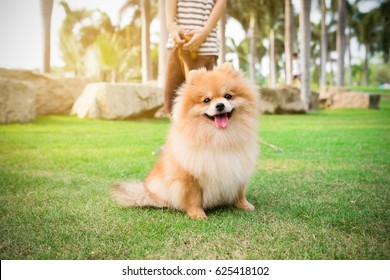 Pomeranian dog with owner and leather leash ready to go for a walk