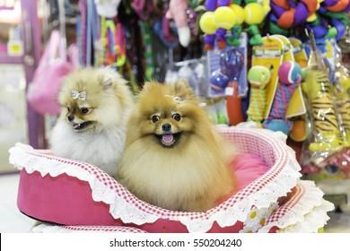 Pomeranian dog in pet store