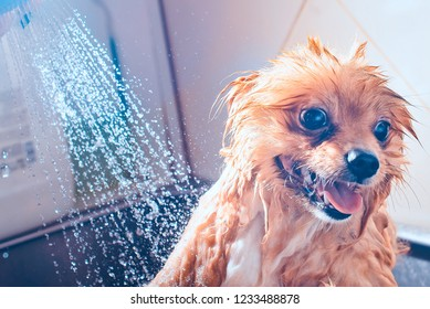 Pomeranian dog with red hair in the bathroom in the beauty salon for dogs. Toned image. The concept of caring for dogs. Cute spitz dog in the washing process. muzzle portrait with shower close