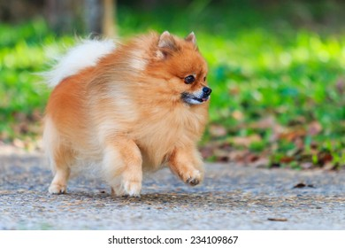 Pomeranian dog running in the park