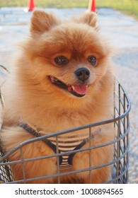 Pomeranian dog Sitting in The Basket of bicycle.