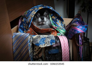 Pomeranian dog sitting in a drawer full of ties