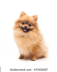 pomeranian dog sitting on isolated background.