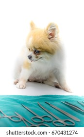 Pomeranian dog sitting on white floor with surgical materials, artery forceps and cramps on green Surgical Drapes. Veterinary, surgery, medicine, pet, animals, health care concept