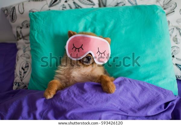 Pomeranian hund i en søvn sjov Stock-foto (rediger nu) 593426120