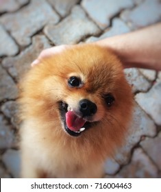 Pomeranian Dog Smile and Funny