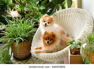 pomeranian dog smile,animal playing outside smiles