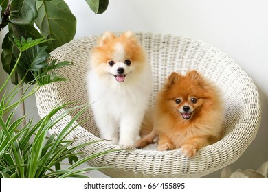 Pomeranian images stock photos vectors shutterstock pomeranian dog smileanimal playing outside smiles thecheapjerseys Image collections