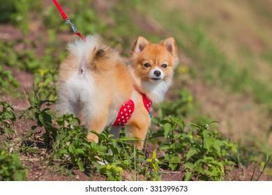 Pomeranian dog stand on the garden