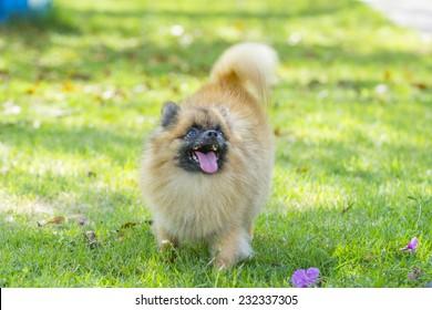 Pomeranian dog standing on green grass in the garden